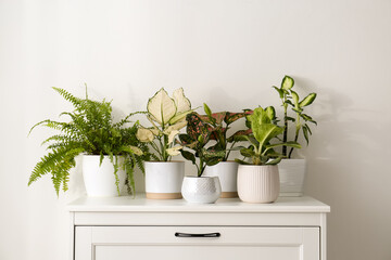 Fototapeta Exotic houseplants with beautiful leaves on chest of drawers at home obraz