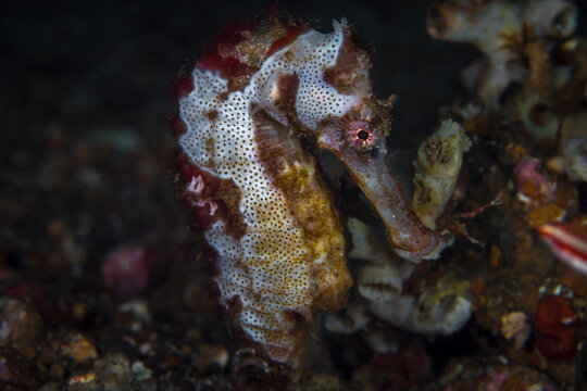 Seahorse with sea sponge camouflage hanging out on coral reef