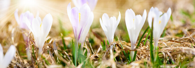 wide angle view to crocus flowers at spring with sunbeams
