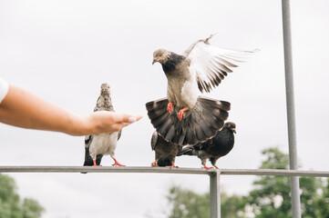 Fototapeta Wyciągnięta dłoń z pokarmem dla podlatującego gołębia