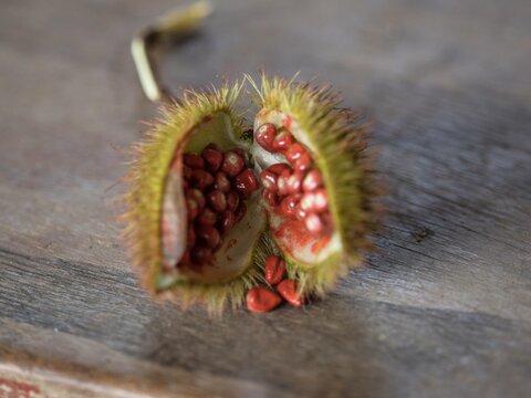 Closeup of an opened Bixa orellana Achiote lipstick tree fruit red seeds annatto pigment condiment food coloring Peru