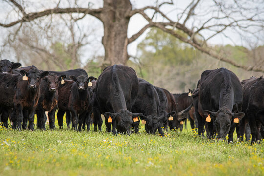 Angus herd in early spring pasture - low angle