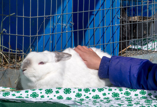 A Child's Hand Touches A Fluffy White Rabbit That Is On Display At A 4-h Petting Zoo