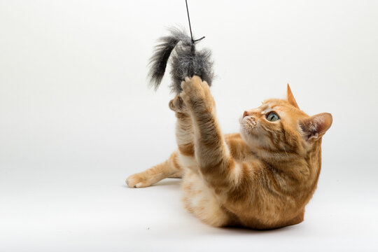 A Beautiful Domestic Orange Striped cat laying down and playing with a toy mouse in strange, weird, funny positions. Animal portrait against white background.