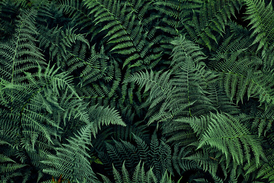 Fern leaves background. Close up of dark green fern leaves growing in forest. Shot from above