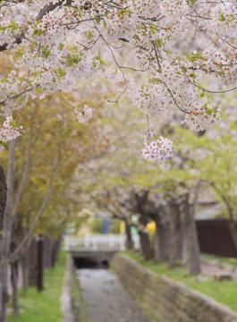 河川敷に咲く桜