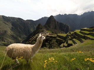 White llama lama glama animal at Machu Picchu ancient inca citadel sanctuary archaeology ruins Sacred Valley Cuzco Peru