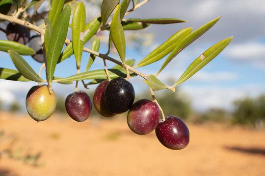 Manojo de aceitunas castellanas en el olivar