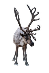 Fototapeta reindeer with dark horns on white background