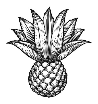 Blue agave sketch. Ingredient of tequila