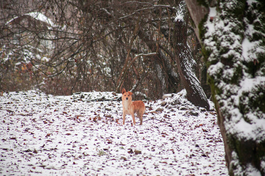 Orange dog in winter forest looking to the camera. Zoom shot