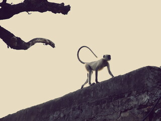 Low Angle View Of Monkey Walking On Retaining Wall Against Clear Sky During Sunset