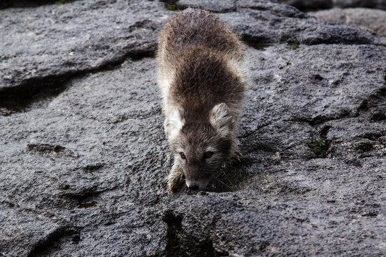 Portrait Of Artic Fox On Rock