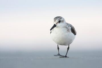 Drieteenstrandloper, Sanderling, Calidris alba