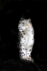 Alert adult snow leopard on black background with space for text.