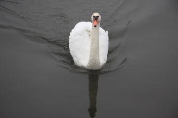 Fototapeta łabędź, ptak, zima, spacer, zwierzęta, natura, przyroda, niebo, fruwać, latać, dziki, dziób, dokarmianie, biały, dumny, piękny, majestatyczny, samotny, pióra, woda, pływać,  obraz