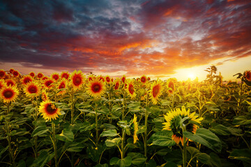 Wall Mural - Attractive scene of vivid yellow sunflowers in the evening.