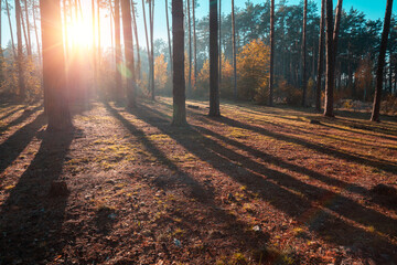 Beautiful pine forest in an early autumn morning. Sunrise in the forest
