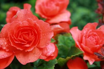 Fototapeta begonia, rośliny cebulowe, kwiat, ogród, ogrodnik, lato, słońce, pąki, płatki, kolor, czerwony, uprawa, ziemia, przyroda teren zewnętrzny, pielęgnacja roślin,  obraz