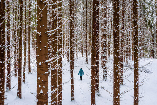 Splitboard and Ski touring Concept. Uphill in a line in the mountains forest woods. Two friends in the mountain forest. Split boarding in the forest, on white powder day. Winter hike and travel.
