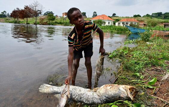 Shadrack Kafuluma handles dead fish that was swept by waves to the shores of Lake Victoria in at the Kigungu landing site in Entebbe