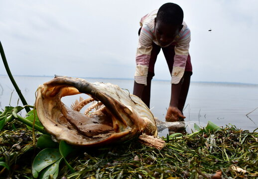 Frank Lubega, looks at the fish that died and was swept by the waves to the shores of Lake Victoria in at the Kigungu landing site in Entebbe