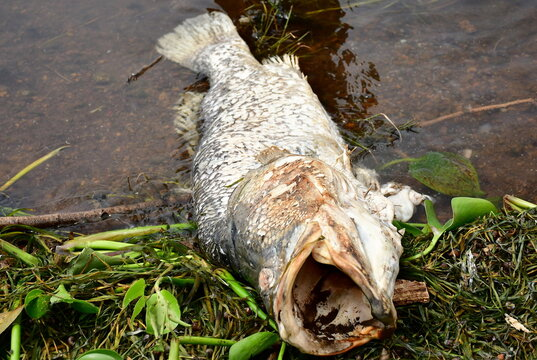 A dead fish is seen after it was swept by waves to the shores of Lake Victoria in at the Kigungu landing site in Entebbe