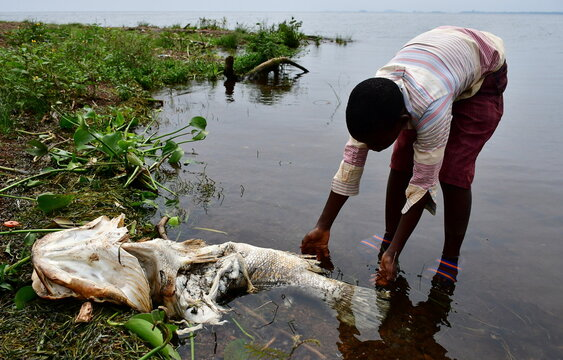 Frank Lubega, show some of the fish that died and was swept by the waves to the shores of Lake Victoria in at the Kigungu landing site in Entebbe