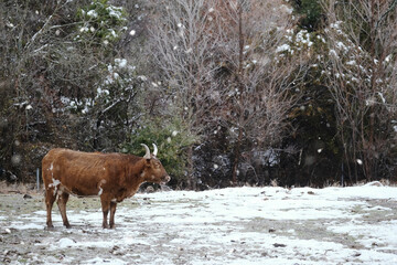Wall Mural - Snowing on Texas longhorn cow in rural field during cold winter season.
