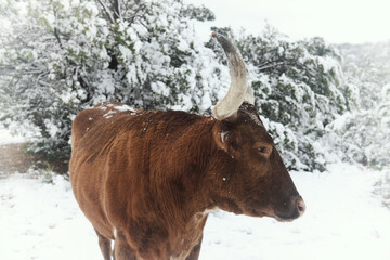 Wall Mural - Texas longhorn cow in winter snow close up on cattle farm.
