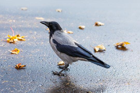 The hooded crow Corvus cornix or hoodie. Eurasian black gray feather bird on asphalt background.