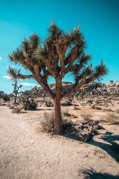 Trees On Desert Against Clear Blue Sky