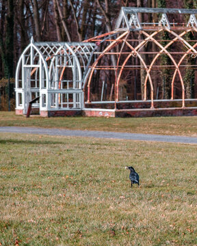 Crow with a snack in front of an abandoned greenhouse at Lyndhurst Manor