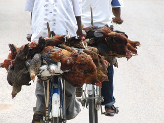 Transport Of Livestock On A Bike
