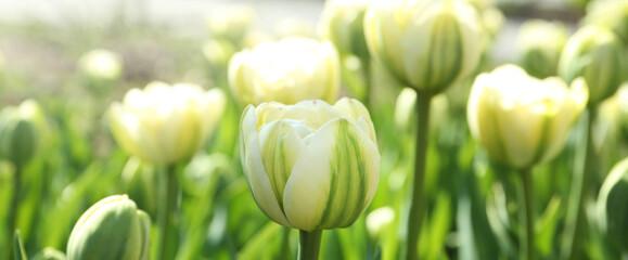 Fototapeta Beautiful blooming tulips outdoors on sunny day. Horizontal banner design