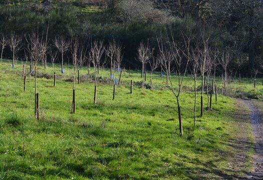 Planting shrubs for reforestation (plantation d'arbustes pour reboisement). France, Europe.
