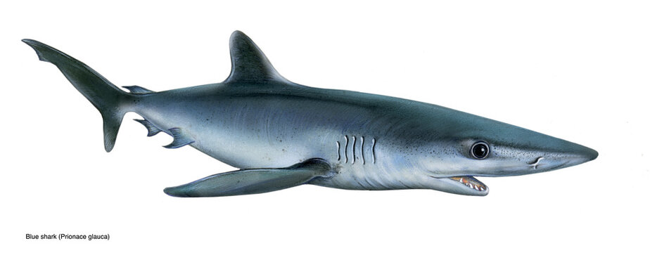 realistic illustration of blue shark (Prionace glauca)