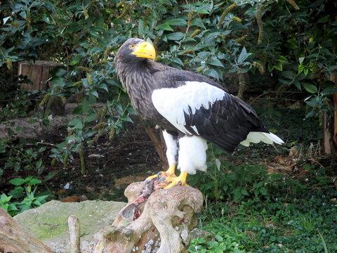a beautiful giant sea eagle sits on its prey