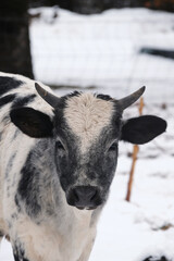 Wall Mural - Brahman crossbred calf with horns close up for young cow portrait in winter snow on farm.