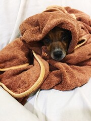 Fototapeta Portrait Of Dog Wrapped In Towel obraz