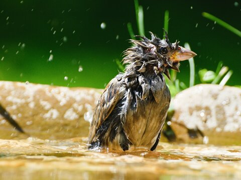Young sparrow are bathed in the water of a bird watering hole. He sprays water. Czechia. Europe.