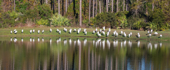 A flock of wood storks on the edge of a pond and reflected in the calm water.