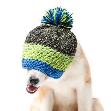 Portrait of a dog in a warm winter hat. The puppy hid under the hat and only the nose is visible. The background is isolated.