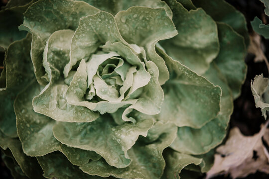 Close-up of lettuce crop at farm