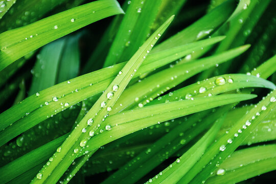 dew drops on the grass close up. beautiful green nature background. spring freshness concept