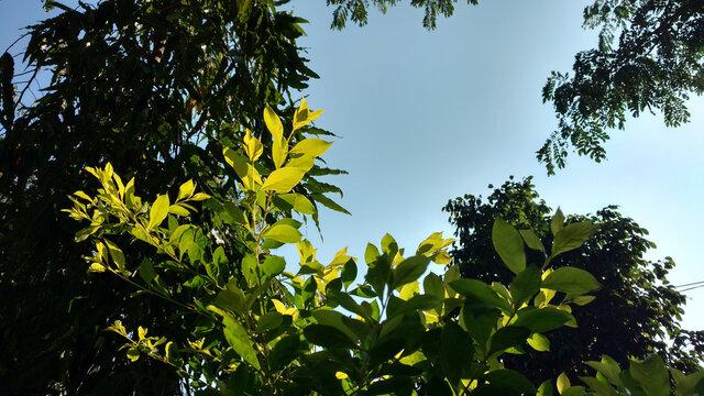 Sunlit leaves of choisya ternata plant under a blue sky and ashoka tree in the background