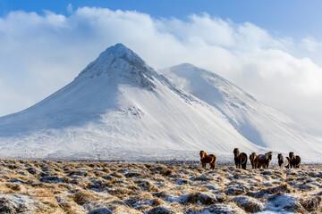 Fototapeta Islandpferde im Winter
