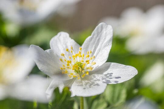 Wood anemone,Anemone nemorosa,white spring flowers with sunlight in nature