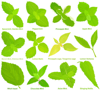 Vector of aromatic culinary Herb seed, vegetable - Different mint, Lemon Balm, Sage, Lemon Verbena, Witch hazel, Stinging Nettle . Healthy ingredients.