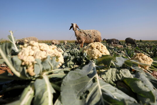 Sheep graze in Palestinian fields with rotten crops amid the coronavirus disease (COVID-19) pandemic, in Jericho, in the Israeli-occupied West Bank